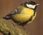 Parus_major_1_(Marek_Szczepanek)